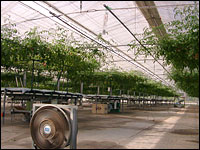 水耕栽培(水気耕栽培)のトマト